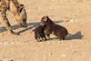 Young_Hyena_Pups_Mashatu_Botswana0043