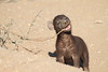 Young_Hyena_Pups_Mashatu_Botswana0088