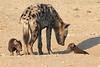 Young_Hyena_Pups_Mashatu_Botswana0052