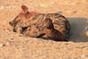 Young_Hyena_Pups_Mashatu_Botswana0028