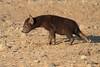 Young_Hyena_Pups_Mashatu_Botswana0041