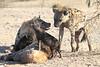 Young_Hyena_Pups_Mashatu_Botswana0099