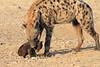 Young_Hyena_Pups_Mashatu_Botswana0040