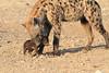 Young_Hyena_Pups_Mashatu_Botswana0039