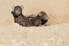 Young_Hyena_Pups_Mashatu_Botswana0085