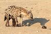 Young_Hyena_Pups_Mashatu_Botswana0045