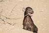 Young_Hyena_Pups_Mashatu_Botswana0089