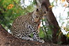 Young_Leopards_Mashatu_Botswanna__0054