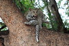 Young_Leopards_Mashatu_Botswanna__0010