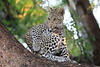Young_Leopards_Mashatu_Botswanna__0082