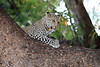 Young_Leopards_Mashatu_Botswanna__0048