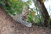 Young_Leopards_Mashatu_Botswanna__0036