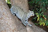 Young_Leopards_Mashatu_Botswanna__0140