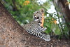 Young_Leopards_Mashatu_Botswanna__0052