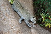 Young_Leopards_Mashatu_Botswanna__0128