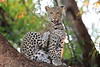 Young_Leopards_Mashatu_Botswanna__0070