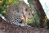 Young_Leopards_Mashatu_Botswanna__0090