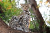 Young_Leopards_Mashatu_Botswanna__0072