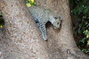 Young_Leopards_Mashatu_Botswanna__0114