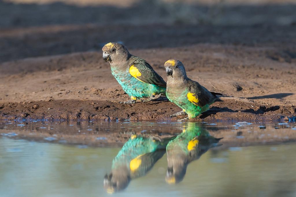 Meyer's parrots