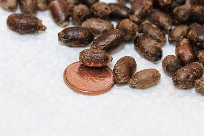 Last year I was asked how big the cocoons were. The penny gives you an idea of size.