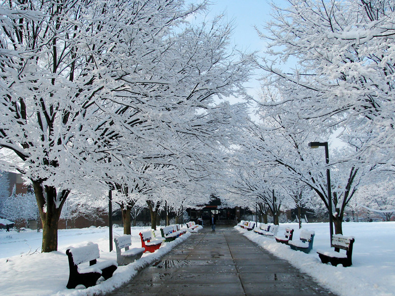 After the storm, snow-covered boughs make a fairy-tale pathway on the Fairfax Campus Quad. Photo by Kelly Large