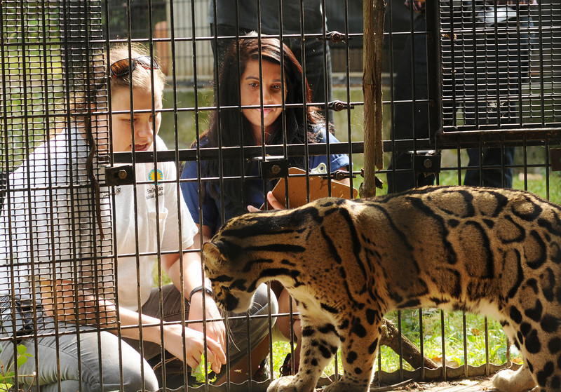 CRC-Smithsonian Research Semester students work with clouded leopards at a conversation site  in Virginia. Photo by Evan Cantwell