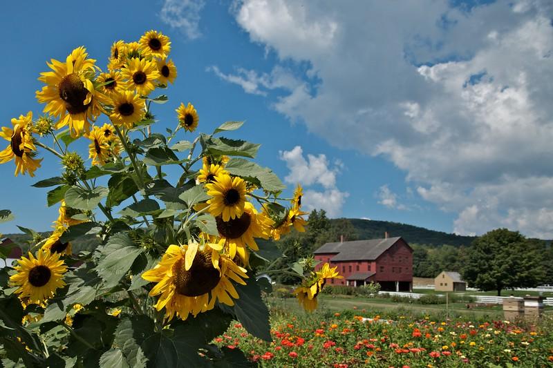 Sunflowers at Hancock Shaker Village