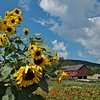 Sunflowers at Hancock Shaker Village