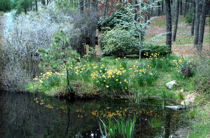 Daffodils at Mytoi