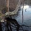 Tree Reflection, Cedar Tree Neck