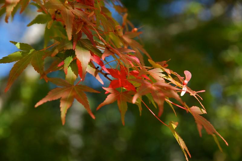 Japanese Maple at Mytoi