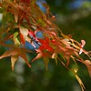Japanese Maple at Mytoi
