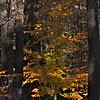 Woodland Gold