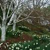 Daffodils and Birch