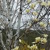 Birch and Magnolia, Spring