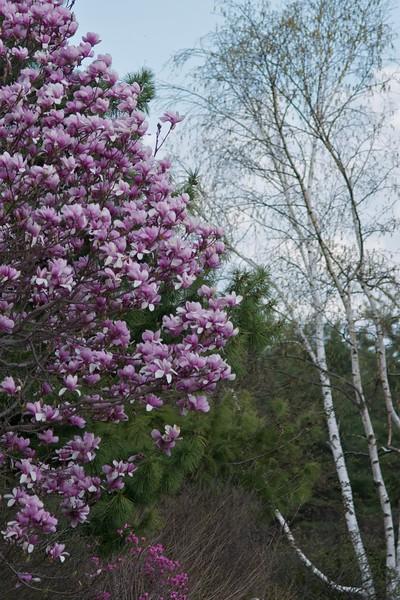 Magnolia and Birch