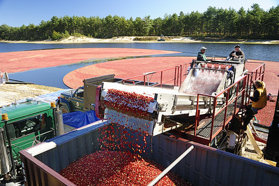 When we arrived at the bog, a truck full of berries had just left a this new empty one arrived.  Amazing how quickly it filled up.