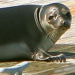 He seemed to be a little irritated with us watching him, shortly after he slid off the dock and swam off.