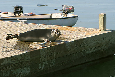 We were suprised to find this harbor seal sunning himself on the dock.