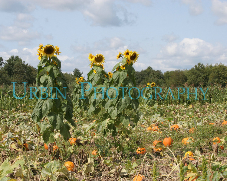 Sunflowers and Pumpkins. New England in the Fall.