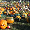 A field of pumpkins and one apple