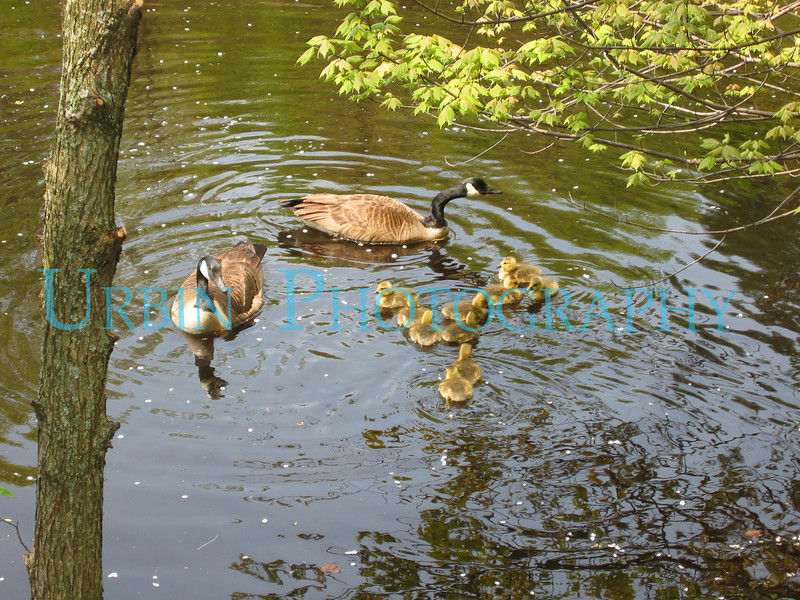 Geese and goslings on the Charles River.