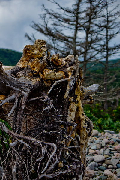 Roots of the Drift Wood in Cape Breton Nova Scotia
