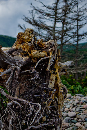 Roots of the Drift Wood in Cape Breton Nova Scotia