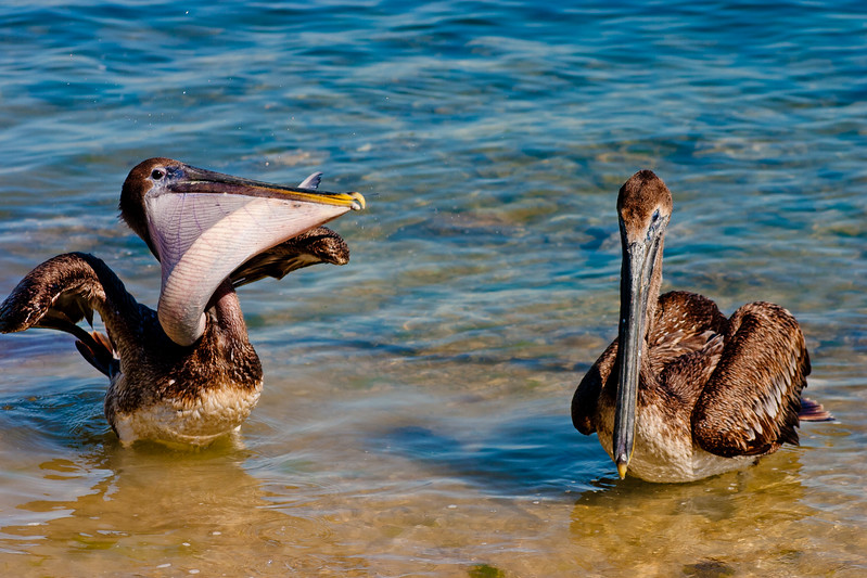 Pelican with Food and a Friend in Florida