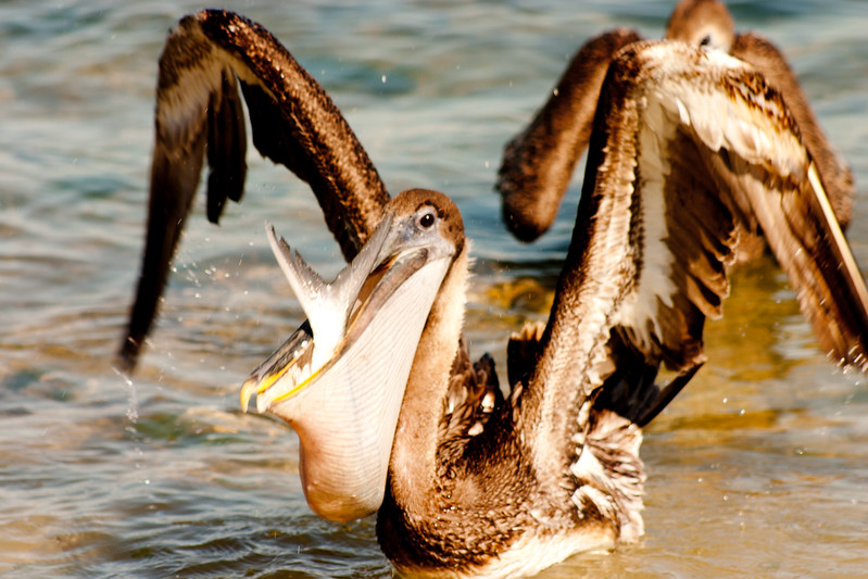 Pelican with a Fish