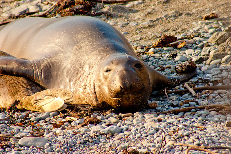 Adolescent Elephant Seal in Northern California