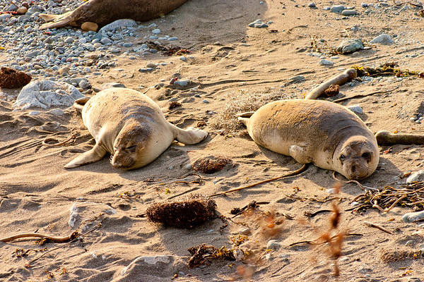 Two Sleepy Elephant Seals in Northern California