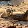 Two Elephant Seal Pups in Northern California